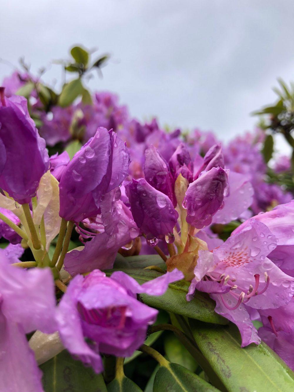 Geschlossene Blüten mit Wassertropfen