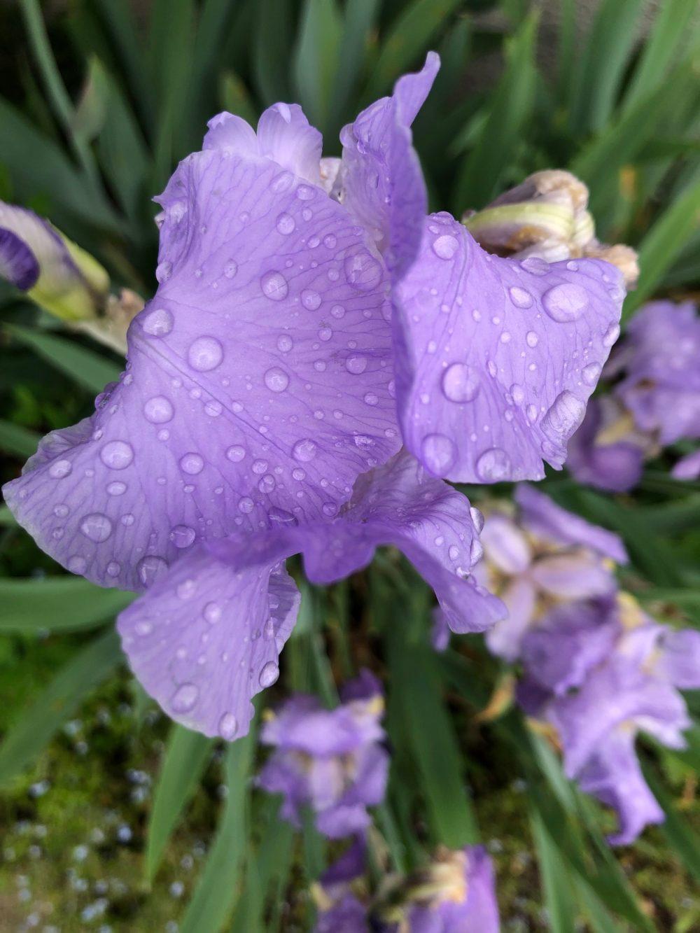 Mit Wassertropfen geschmückte Iris