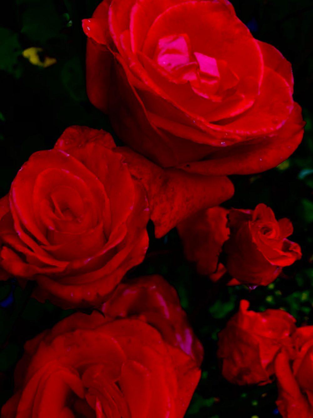 Fünf rote Rosen im Dunkeln