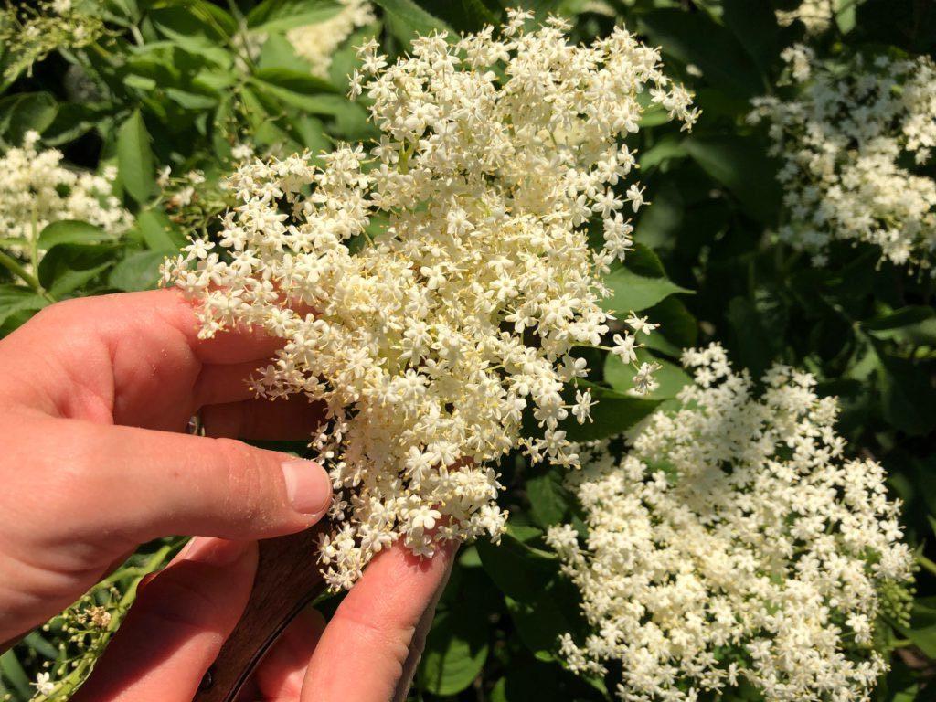 Kiedy i jakie zioła zbierać ? Kalendarz zbioru ziół i surowców zielarskich ( PDF )