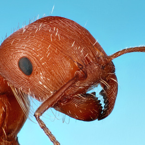 Portrait of a comanche harvester ant worker from Red Rock, Texas. Public domain image by Alex Wild, produced by the Insects Unlocked project at the University of Texas at Austin.