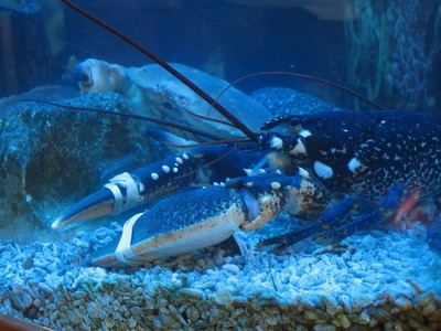 Rybi Trh lobster