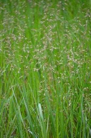 Hierochloe odorata Sweet Grass   Prairie Moon Nursery