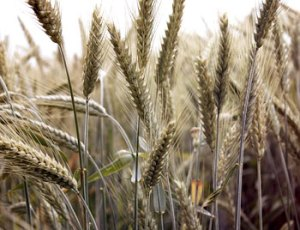 Cereal-Rye--Florian-J-JIM