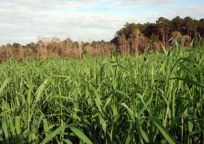 Cereal Rye Fall Cover Crop