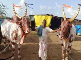 mysore ox