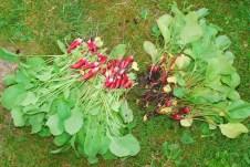 Niektoré odrody v letnom období nebudú vytvárať buľvičky