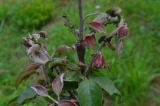 Premnožené vošky na jabloni