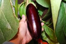 Plody baklažánu rastú pomaly
