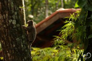 Macaco Sagui escalando árvore durante o Retiro