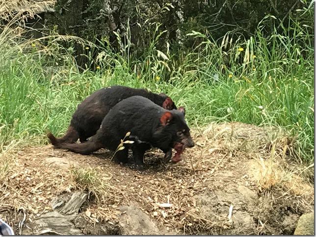 30 el diablo de Tasmania