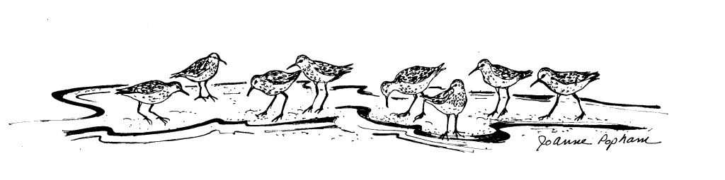 Shorebirds_drawing_Jo_Anne_Popham (3)