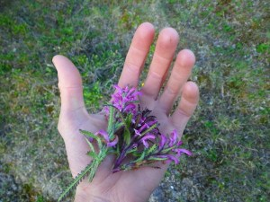 Yarrow's hand holding some harvested plants