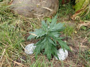 A wormwood plant started from locally gathered seed