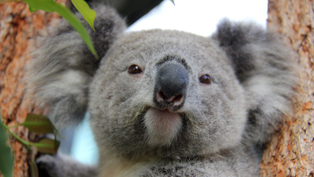 australien-koala-baeren
