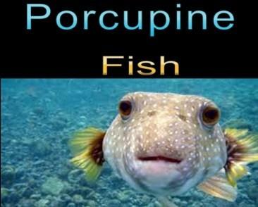 Porcupine fish sea animal