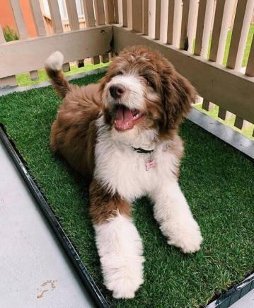 happie dog on the Doggielawn grass