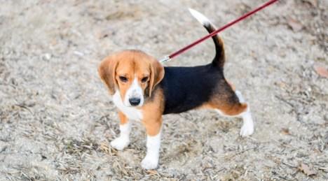 Puppy dog on a leash. Dog walking on a leash