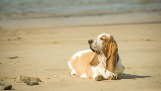 overweight basset hound lazing on a beach in the sun