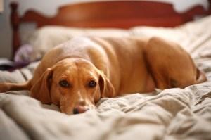Happy Dog Sleeping on Bed