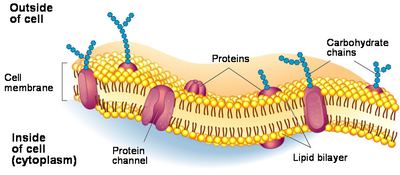 10 Cell Membrane Structure All About Fish Oil