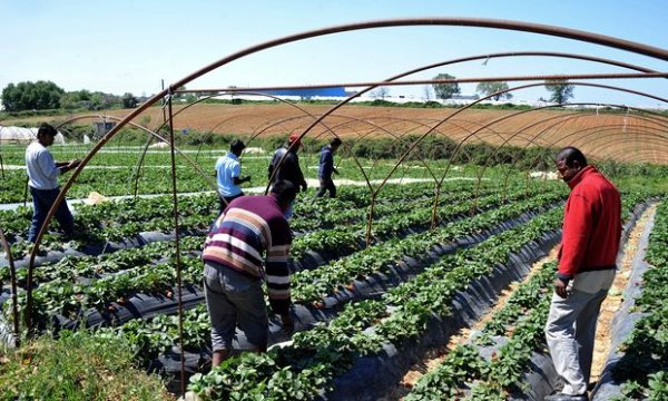 Migrant workers at a strawberry plantation near the Greek village of Manolada, where scores of workers were shott by foremen in 2013. Photograph: Antonis Nikolopoulos/AP