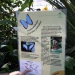 Tropische_Schmetterlinge_26