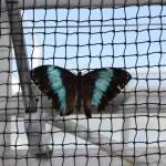 Tropische_Schmetterlinge_33