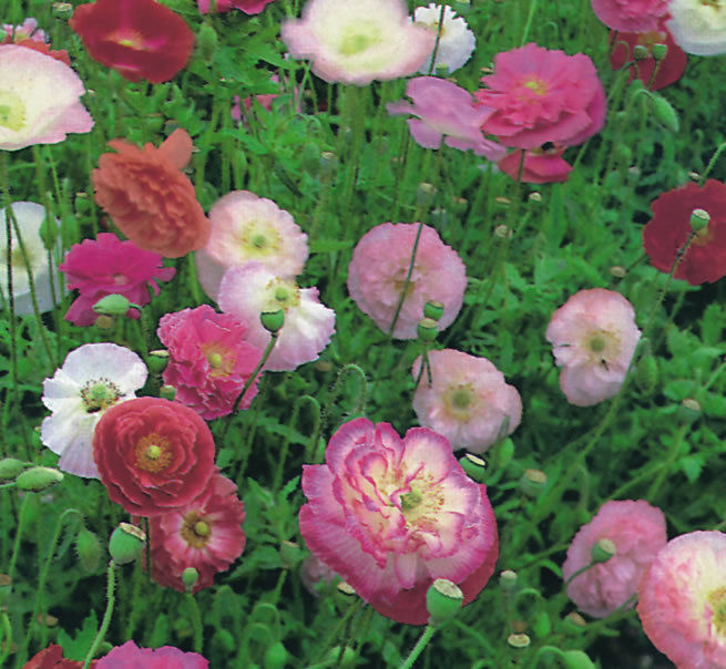 Papaver Indian Double Shirley Papaver Premier Seeds