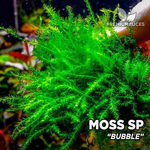Bubble Moss musgo de acuario