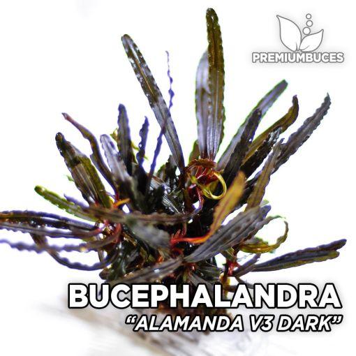 Bucephalandra Alamanda v3 Dunkle Aquarienpflanze