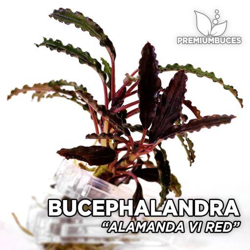 Bucephalandra Alamanda VI Red, planta de acuario