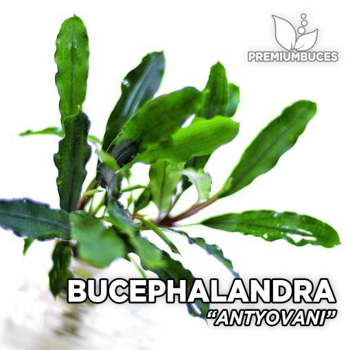 Bucephalandra Antyovani Aquarienpflanze