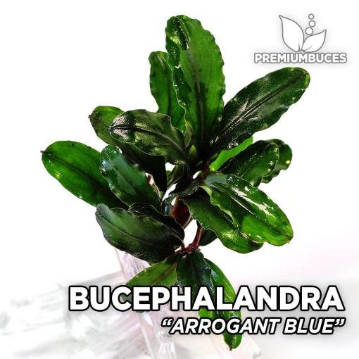 Bucephalandra Arrogant Blue planta de acuario