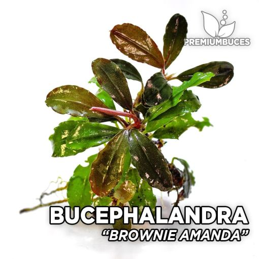 Bucephalandra Brownie Amanda aquarium plant