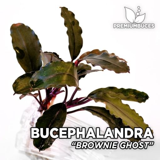 Bucephalandra Brownie Ghost-Aquarienpflanze