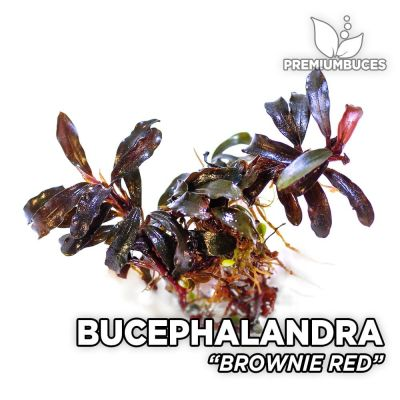 Bucephalandra Brownie Red planta de acuario
