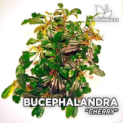 Bucephalandra Kirschaquariumanlage