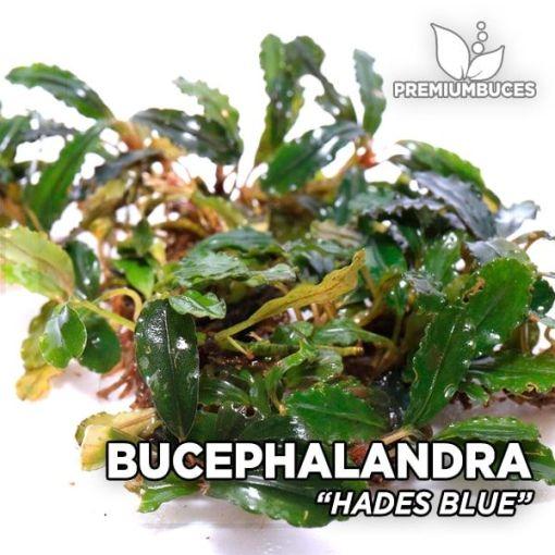 Bucephalandra Hades Blue planta de acuario