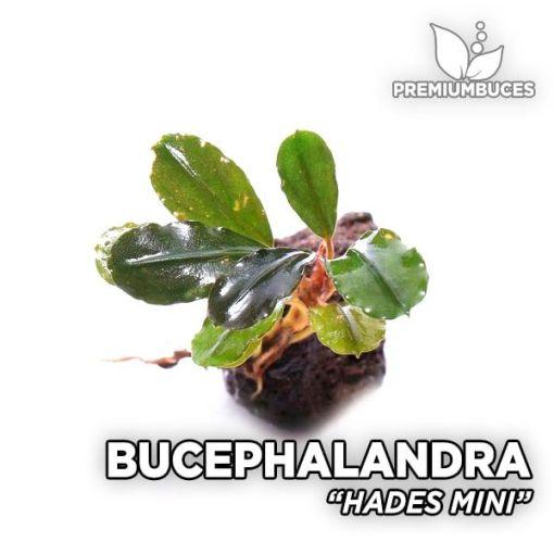 Bucephalandra Hades Mini planta de acuario