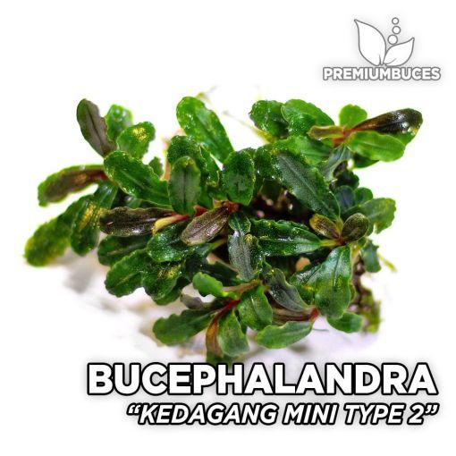 Bucephalandra Kedagang Mini Typ 2 Aquarienpflanze