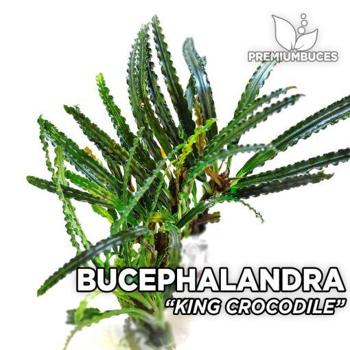 Bucephalandra King Crocodile planta de acuario