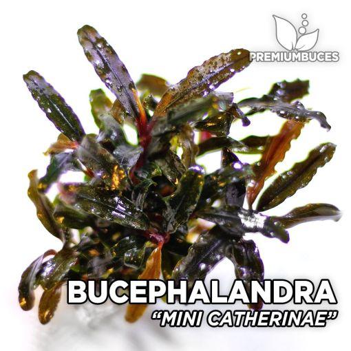 Bucephalandra Mini Catherine planta de acuario