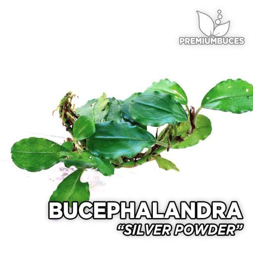 Bucephalandra Silver Powder planta de acuario