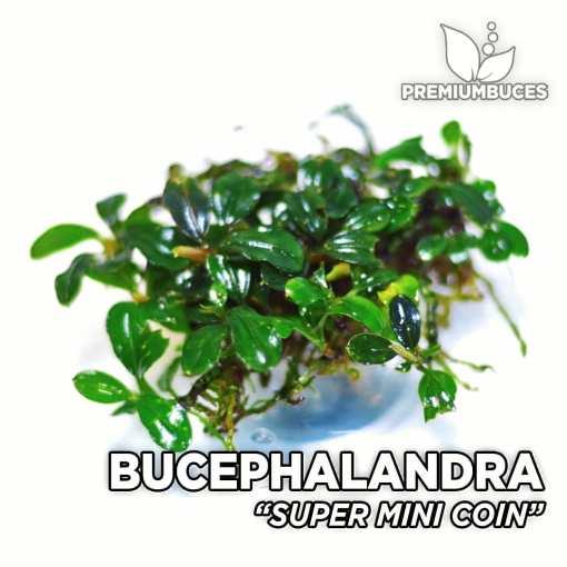 Bucephalandra Super Mini Coin planta de acuario