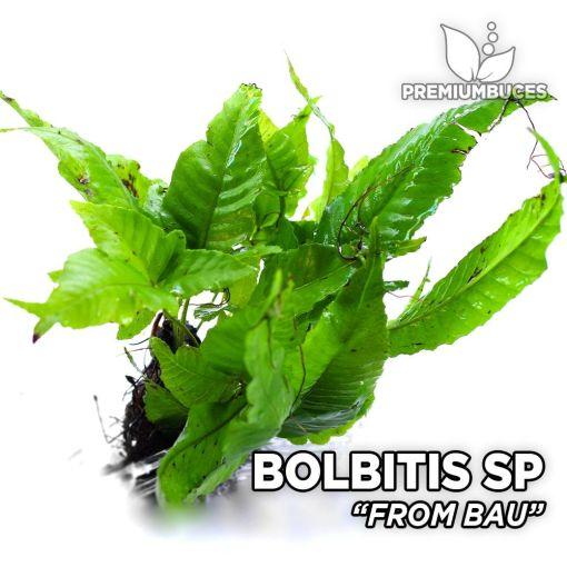 Bolbitis from Bau planta de acuario