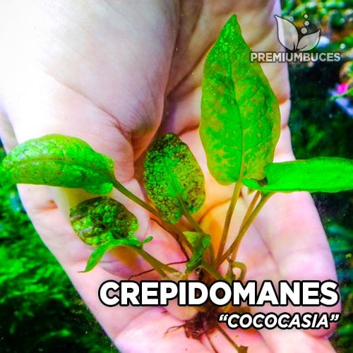 Crepidomanes Cococasia