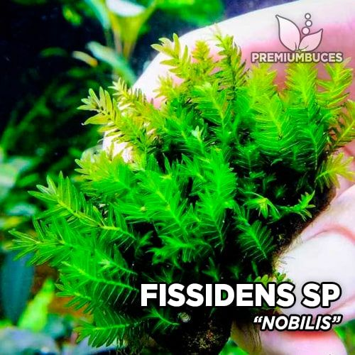 Fissidens Nobilis musgo de acuario