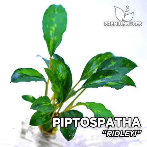 Piptospatha Ridleyi planta de acuario