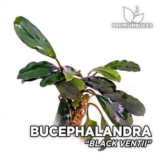Bucephalandra Black Ventii planta de acuario